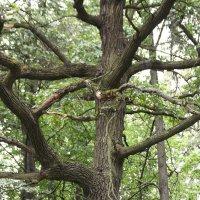 Дерево :: Максим Даниленко