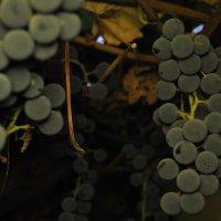Виноград :: Любовь Kozochkina