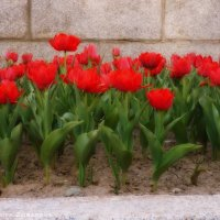 Танцующие тюльпаны :: Анастасия Зубарева