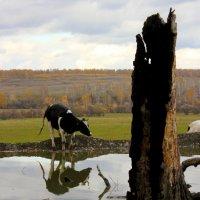 Два Бычка :: Любовь Шихова