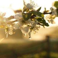 Когда яблони цветут :: Валерия заноска