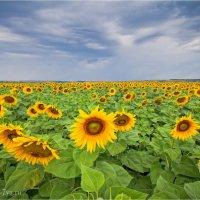 Солнечный цветок :: Ekaterina Chichkova