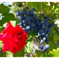 Виноград :: Оксана Сон