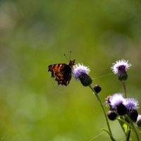 Бабочка :: Сергей Великанов