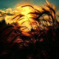 Колосящийся закат :: Владимир Афанасьев