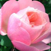 Розы в феврале... :: Светлана Вечерова