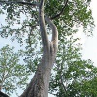 Камбоджа. Ангкор. Дерево, растущее на развалинах :: Владимир Шибинский