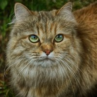 Суровая кошка :: Kamilla Gazizova