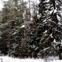 Шатурский лес зимой. :: Ольга Кривых