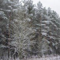 Заснеженный лес :: Екатерина Малащенкова