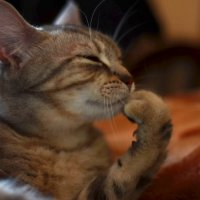 отстань, я думы думаю (кошачий философ) :: елена брюханова