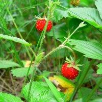 ягода :: Вик Токарев
