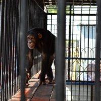 Шимпанзе :: Александр Коваленко
