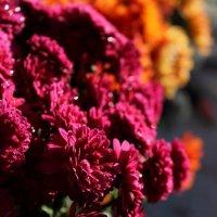Хризантеми :: Соломія Палига