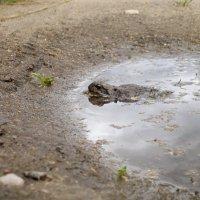 купание лягушки :: Валерия Бобровская
