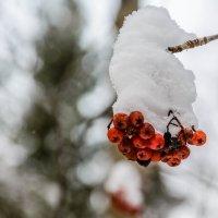 Зимняя рябина :: Дмитрий Марков