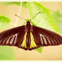 черная бабочка :: Natalya секрет