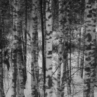 Белоствольные зимой. :: Михаил Попов