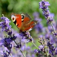 Бабочка и лаванда :: Елена Ахромеева
