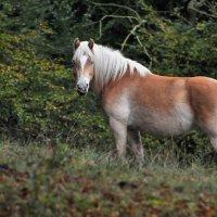 Исландская лошадка. :: krealla 1