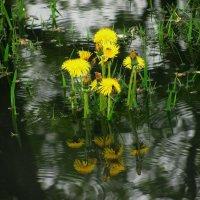 Цветущие из воды... :: Сергей Князь