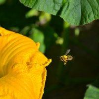 Пчела :: Денис Финягин