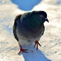 Хитрый голубь :: Dmitry Bulanov