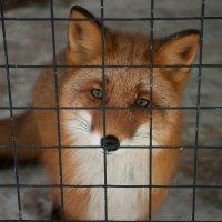 Fox :: Денис Сорокин