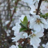 Весна.... :: Светлана Цимбалиста