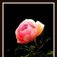 ночная роза :: Владимир Хатмулин