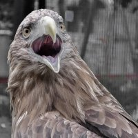 Злая птичка :: Olga Shatilina