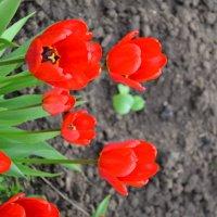 Красные тюльпаны :: Анастасия Федотова