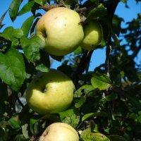 Яблочки :: Наталия Короткова