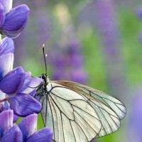 Violet Beauty :: Spaniot .