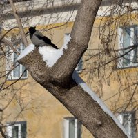 'Олимпийская' ворона :: Антон Банков