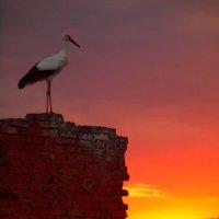 Аист на закате :: Николай Коробов