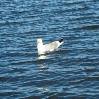 Любопытная чайка :: Ксения
