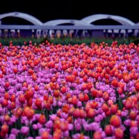 Тюльпаны. :: Saniya Utesheva