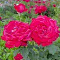 Розы :: Владимир Каминский