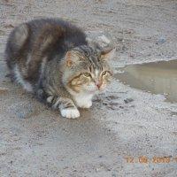 Кот с  Соловецких островов .2013г. :: Мила