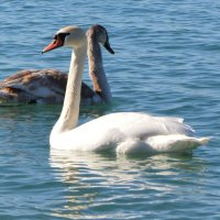 пара лебедей :: Katerina Sheglova