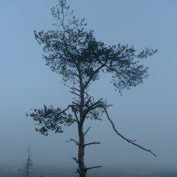 сосна  в тумане :: Сергей