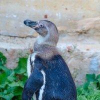 Пингвинчик :: Тарас Леонидов