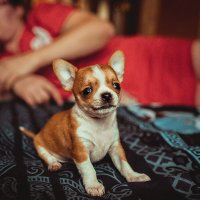 Щенок Chihuahua :: Сергей Селевич