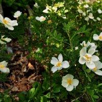 горные цветы :: Сюзанна Карелина