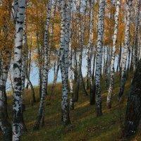 Березовая осень. :: Victor Klyuchev