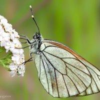Боярышница (Aporia crataegi) :: Spaniot .