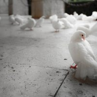 Pigeon post. Cassino. Italy. :: Eva Langue