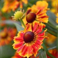 Цветы :: Елена Липатова