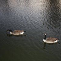 Гуси на реке :: Татьяна Черненко